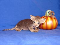 Peterbald kitten hairless cat will be a suede shammy coat