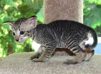 Peterbald kitten - spotted tabby?