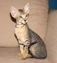 Peterbald kitten -  brush coat male brown tabby