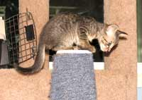 Straight coat peterbald kitten will have a coat similar to an Oriental Short Hair as an adult