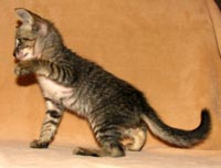 Peterbald kitten profile picture