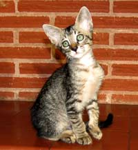 photo of russian peterbald hairy cat