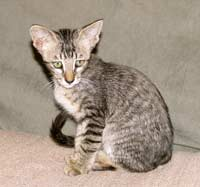 straight coated peterbald will have a coat similar to an Oriental Short Hair OSH