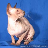 Flock coated chocolate point peterbald cat