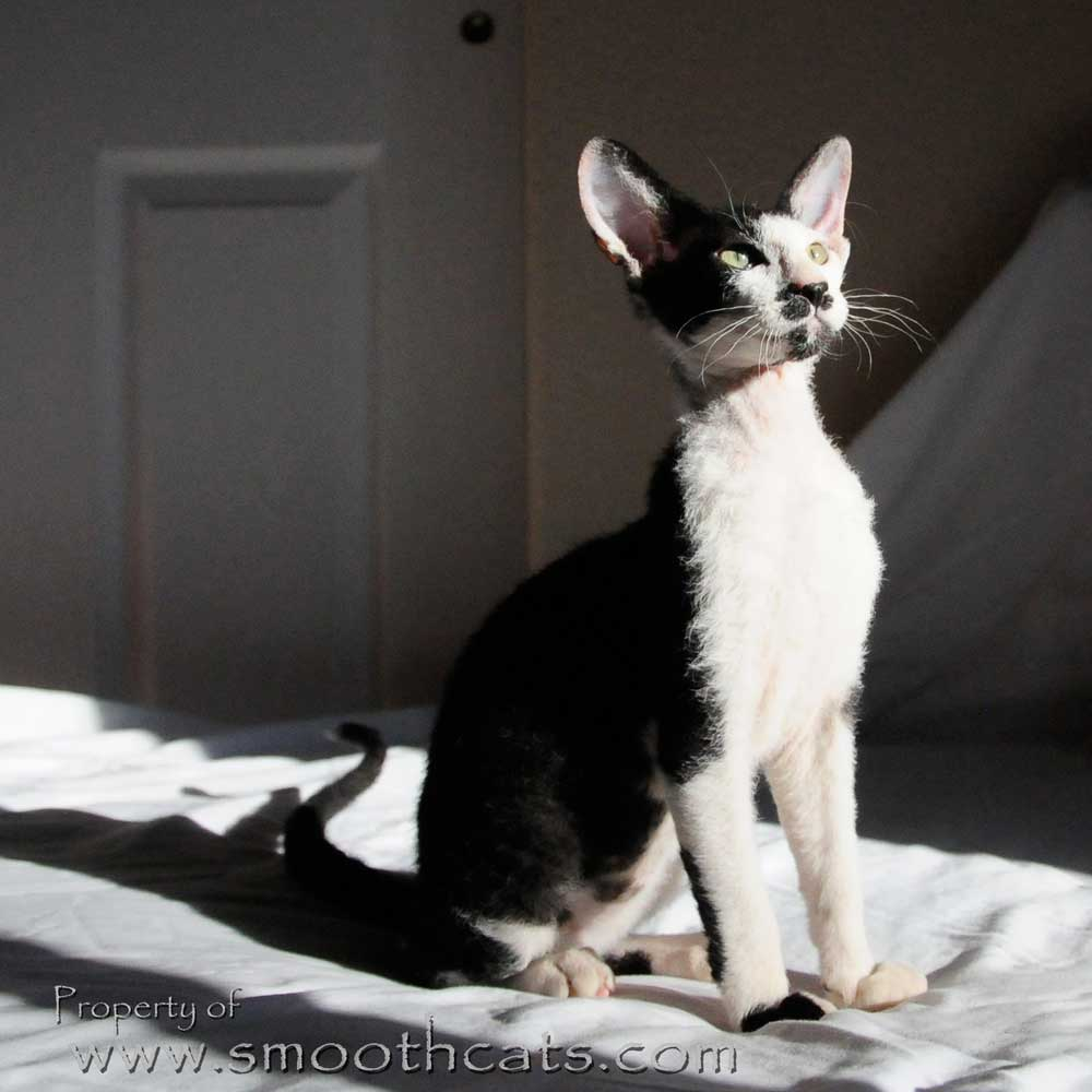 Peterbald stud tom cat