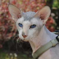 Barabashka Bibigon, Seal Lynx Point and White Peterbald stud cat