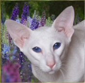 Azorez Legolas the Sylvan Elf, BEW OSH stud tom cat