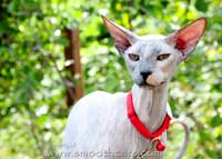 blue cream peterbald female kitten - suede / shammy coat hairless cat