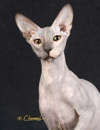 RW TGC Shamira Chava, blue tortie Peterbald hairless cat queen
