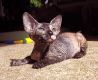 Joker, tortie brush coat Peterbald mommy