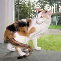 Bruru's Kali Delight, calico tortie and white OS queen cat