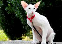 Shamira Parrys, Blue Eyed White light brush coated Peterbald PD hairless cat