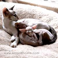 Seal tortie point and white Siamese kitten