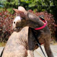 Straight Coated Lilac peterbald cat