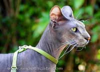 Peterbald stud suede coat cat