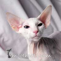 Shamira Titan, Blue eyed white foreign  Peterbald stud tom cat