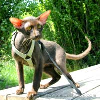 chocolate brush coated  peterbald kitten cat tom stud male
