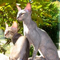 Peterbald kittens hairless cat picture