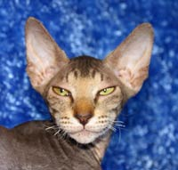 Peterbald Head Photo hairless cat