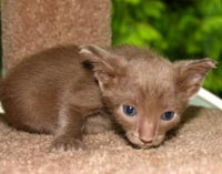 peterbald kitten, photo 7/15