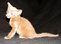 Available Peterbald kitten for sale straight coat -  looks like an Oriental Short Hair