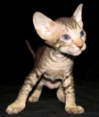 Peterbald ktten -  suede / shammy coat male brown mackeral tabby cat