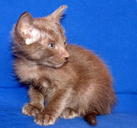 Peterbald kitten, straight coat, normal fur