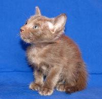 Straight coated Peterbald kittens have a coat very similar to that of an Oriental Short Hair or Siamese