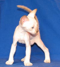 Hairless kitten Peterbald chocolate point