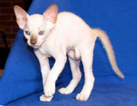 Peterbald kitten, chocolate pint male, coloring similar to siamese