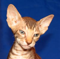 Peterbald kitten, hairless cat - brown tabby male shammy suede coat will be naked