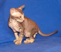 Peterbald kitten, a new breed of Hairless cat from Russia