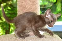 Peterbald kitten coat similar to an oriental short hair OSH