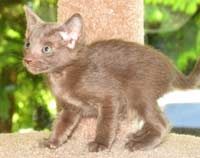 Peterbald kitten, female straight coat short haired cat