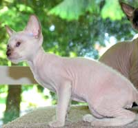 Male Peterbald kitten, coloration like a Siamese, he will be a hairless chocolate point cat