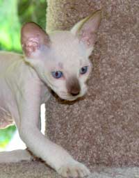 Peterbald kitten -  too busy for a photo session!