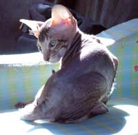 Peterbald kitten will become a hairless cat