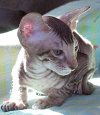 Peterbald kitten photograph 8/04