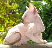 Male Peterbald Chocolate Point kitten - on his way to become a hairless cat