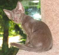 straight coated peterbald kitten photo