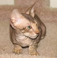 suede coat peterbald kitten hairless cat brown tabby