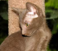 peterbald kitten straight coat looks like an OSH oriental cat