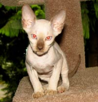 peterbald kitten hairless cat suede shammy bald hairless siamese markings