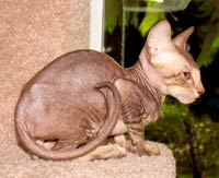 hairless kitten cat peterbald not a sphynx sphinx