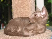 Peterbald kitten  - straight coat female
