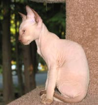 Peterbald kitten profile - Chocolate Point male suede coat hairless cat