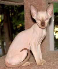 Peterbald kitten - Chocolate Point male suede coat hairless cat