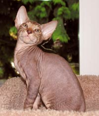 Peterbald Kitten - Male tabby suede shammy hairless cat
