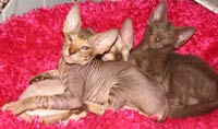 ThreePeterbald Kittens - lounging around