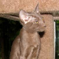 peterbald kitten, straight coat female